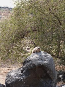 Hyrax basking in sun at Chorazin (Seetheholyland.net)